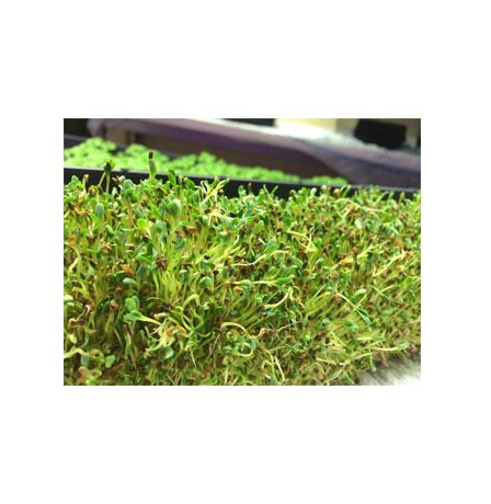alfalfa-sprout