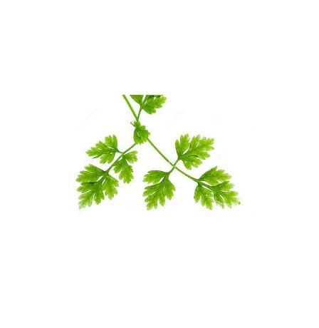 chervil-herb