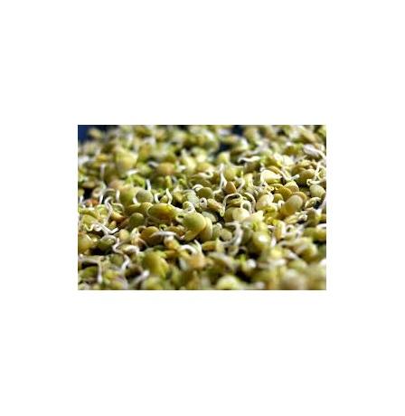 lentil-sprout