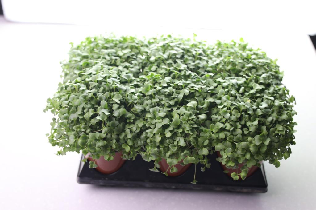 BROCCOLI CRESS 12 CUPS AVAILABLE UPON ORDER